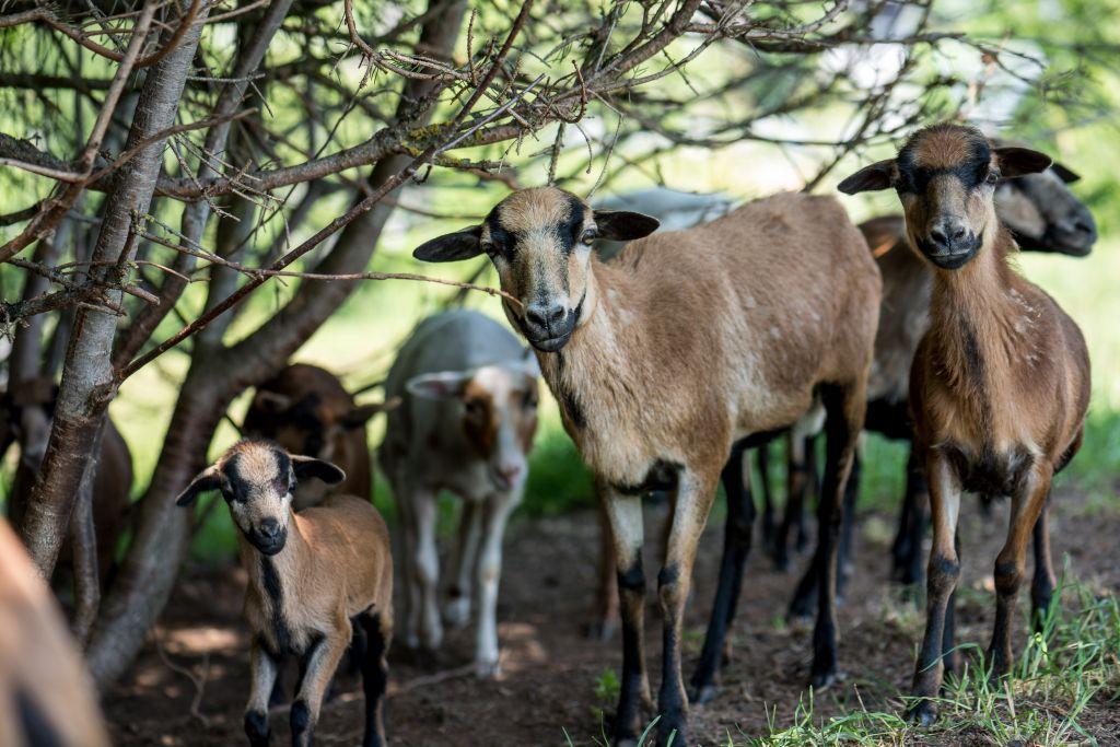 Kameruner Schafe im Sommer (c) Peter Kuehnl (PURADIES Hotel & Chalets)