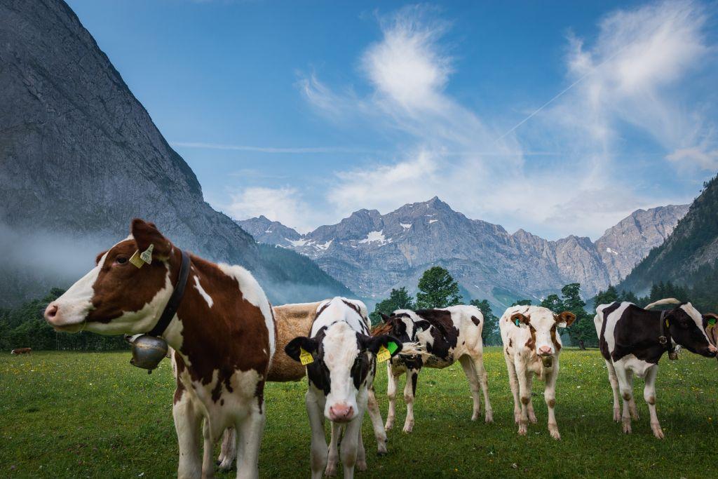 Kühe auf der Weide (c) Angélica Morales (Silberregion Karwendel)