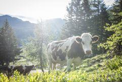 Auch die Kühe genießen die frische Bergluft (c) Florian Bachmeier (Tourismusverband Rauris)