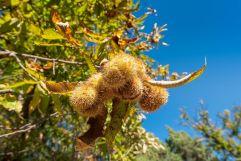 Baum mit Früchten (c) Rene Gruber (Tourismusverein Klausen)