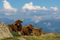 Hochlandrinder in den Dolomiten bei Klausen (Tourismusverein Klausen)