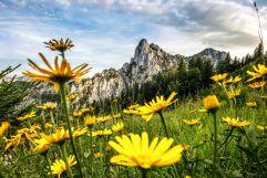 Hörndlwand im Frühling mit gelber Blumenwiese (C) Ruhpolding Tourismus GmbH