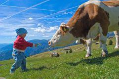 Kind füttert Kuh auf der Feldthurner Alm (Tourismusverein Klausen)