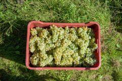 Kiste mit gepflückten Trauben (c) Rene Gruber (Tourismusverein Klausen)