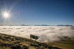 Kuh vor Wolkenmeer und Dolomitenpanorama (Tourismusverein Klausen)