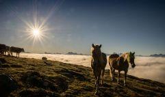Pferde und Kühe vor Wolkenmeer in den Bergen über Klausen (Tourismusverein Klausen)