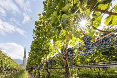Weinstöcke mit reifen Trauben (c) Frieder Blickle (Tourismusverein Algund)