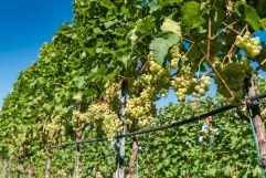 weiße Weinstauden (c) Rene Gruber (Tourismusverein Klausen)