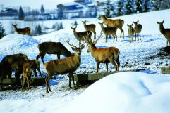 Wildtierbeobachtung (Wildkogel Arena)